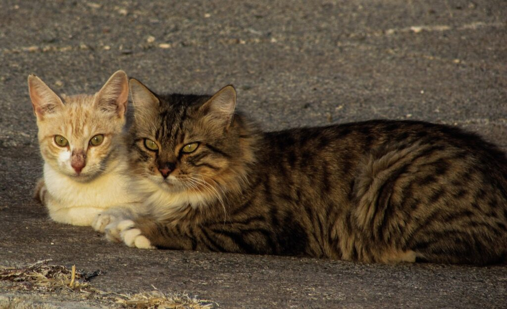 Parning av katter