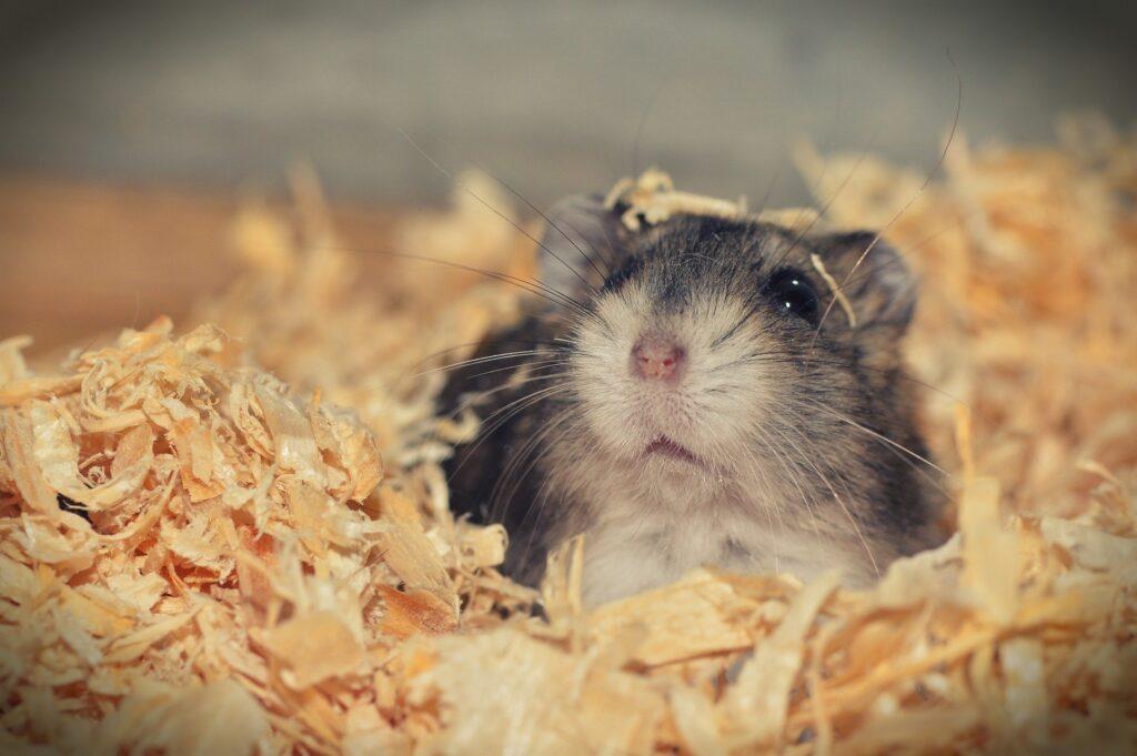 Hamster som husdjur